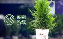 朱砂桔供给多少水分?为什么广州被称为花城?