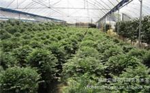 盆景植物都有什么树三角枫下山桩?