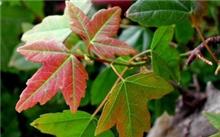 三角枫属于几级保护树种,三角枫和香枫有什么区别?