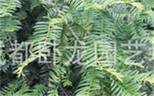 「曼地亚红豆杉」曼地亚红豆杉有什么功效?什么事曼地亚红豆杉有什么用啊?