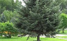 「油松育苗技术」松树的种植技术