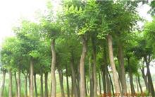 「山楂树」山楂树的品种