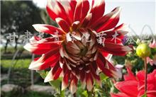 「大丽花图片」这种花叫做什么花?有图片