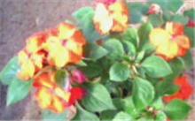 「夹竹桃花」像夹竹桃的花?夹竹桃的花有毒吗?