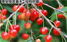 「樱桃树图片」是樱桃树吗?樱桃树这是什么问题?怎么解决?