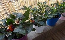 「杨桃树」杨桃树的种植方法和技巧