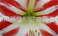 「大丽花图片」谁知道到大丽菊的资料,大丽菊的形状