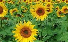 「向日葵花语」向日葵的花语是,(向日葵)的花语是什么?