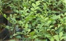 「九里香盆景」九里香盆栽怎么养?