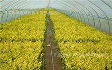 「迎春花图片」迎春花的资料,报春花是不是迎春花