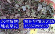 「常春藤图片」常青藤是一种什么样的植物?