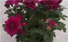 「九里香盆景」九里香怎么盆栽养殖?九里香怎么养,九里香盆景欣赏?