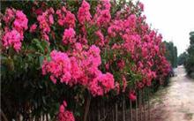 「紫薇树」紫薇树长什么样子?紫薇树的特点