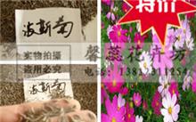 「波斯菊种植方法」波斯菊要怎么养啊?