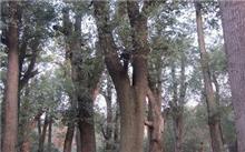 「香樟树的资料」香樟树的简介