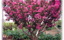 「紫薇树」紫薇树又名什么?紫薇树长啥样子?
