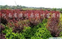 「夹竹桃花」软叶黄婵和夹竹桃花的异同点。