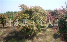 「红叶鸡爪槭」红枫与鸡爪槭的区别