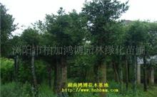 「竹柏树」竹柏树好处,竹柏树的资料