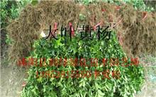 「大叶黄杨球」沭阳冠幅3米大叶黄杨球价格,大叶黄杨球的盆景制作