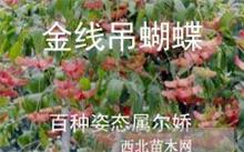 「鸢尾草」鸢尾草的出产地,鸢尾草的植物学