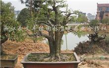「金钱松盆景」十大盆景名贵树种排名是怎样的?