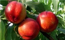 「杨桃树」如何描写杨桃树的四季?贵州最适合种植杨桃树吗?