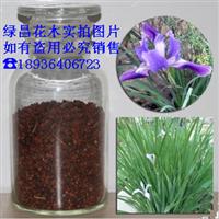 花卉种子 优质马莲种子 批发马蔺种子 特价马兰花种子 高芽率