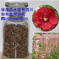 花卉种子 蜀葵种子 批发优质蜀葵种子 一丈红 戎葵 吴葵