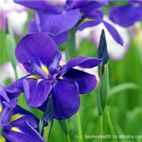 德国鸢尾花,鸢尾苗.不雅观花植物.庭院绿化.盆栽花卉