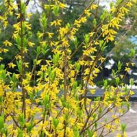 攀缘花卉【连翘花苗】连翘苗又名:金钟罩花、黄金条