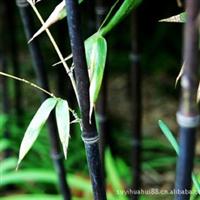 秒杀 紫竹 紫竹苗 庭院绿化的彩色竹子1.5米高以上只卖8元