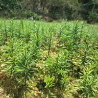 供应红豆杉一年至五年生红豆杉苗