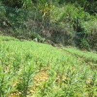 供应优质南方红豆杉三年至五年生苗木