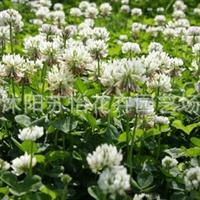 白三叶种子 白花三叶草批发阳台草坪植物牧草花卉花草种子1斤
