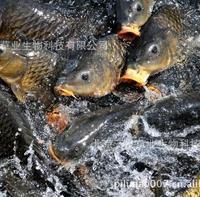 大量供应优质山东特产 产地直销 纯黄河水养殖 黄河鲤鱼 鲤鱼批发