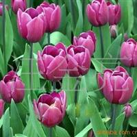 【苗圃直销】供应郁金香种子  多个颜色