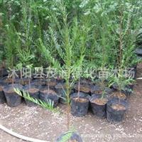 批发销售盆栽花卉植物 红豆杉苗50厘米高*9元一棵量大优惠