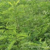 大量供应  工程绿化苗木 1--2年生、合欢树