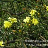 大量供应黄馨,黄馨基地,云南黄馨