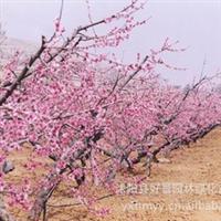 供应批发红梅,梅花,红梅基地等苗木