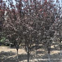大量供应6-8cm原生冠紫叶李