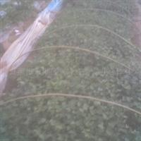 预定地瓜苗红薯苗紫薯苗甘薯苗质量好成活率高支付宝