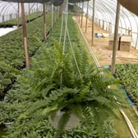 供应蓝色贝尔蕨、蕨类植物、富贵蕨、鸟巢蕨、蟹爪兰等