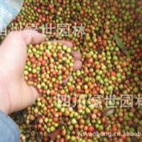 批发【南天竹种子】当年新摘熟果,四川南天竹种子