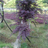 湖南苗木 红继木桩 规格齐 造形精