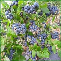 中国最大蓝莓基地【蓝莓苗】1-4年生规格齐全.深夜草莓视频app下载优质