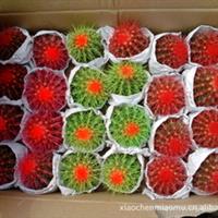 批发仙人球 彩球 红色 绿色 紫色  办公桌 阳台植物 净化空气