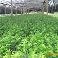 基地批发,供应红豆杉小苗等绿化苗木、室内盆景