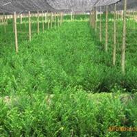 各种规格红豆杉基地批发,较实惠价格欢迎广大客户